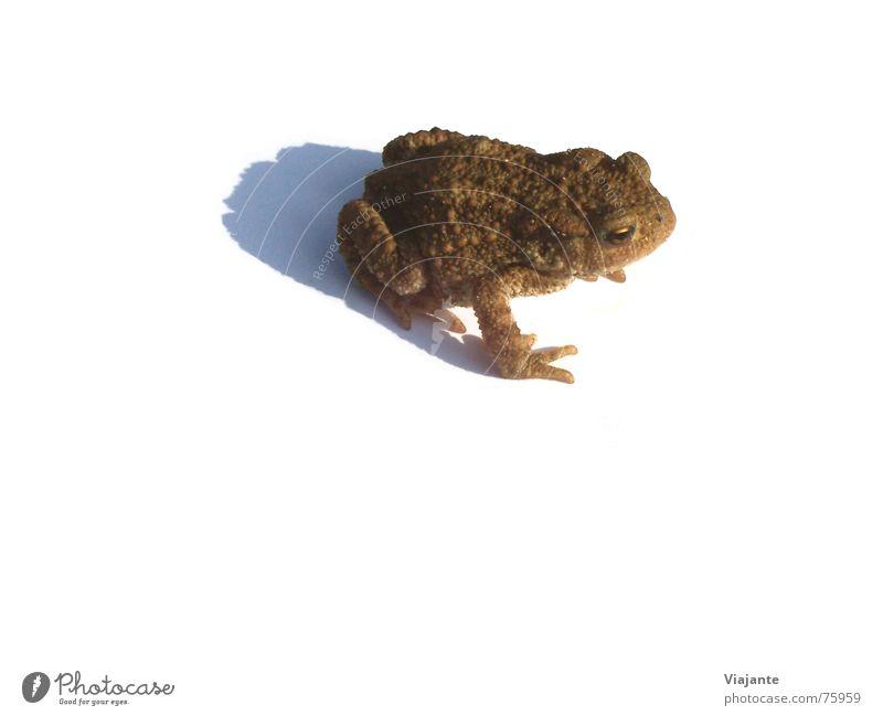 Wo bitte ... Natur grün Umwelt braun Frosch Teich Leiche hässlich Sumpf Ei Tier Freisteller Traumprinz Kröte Quaken Laich