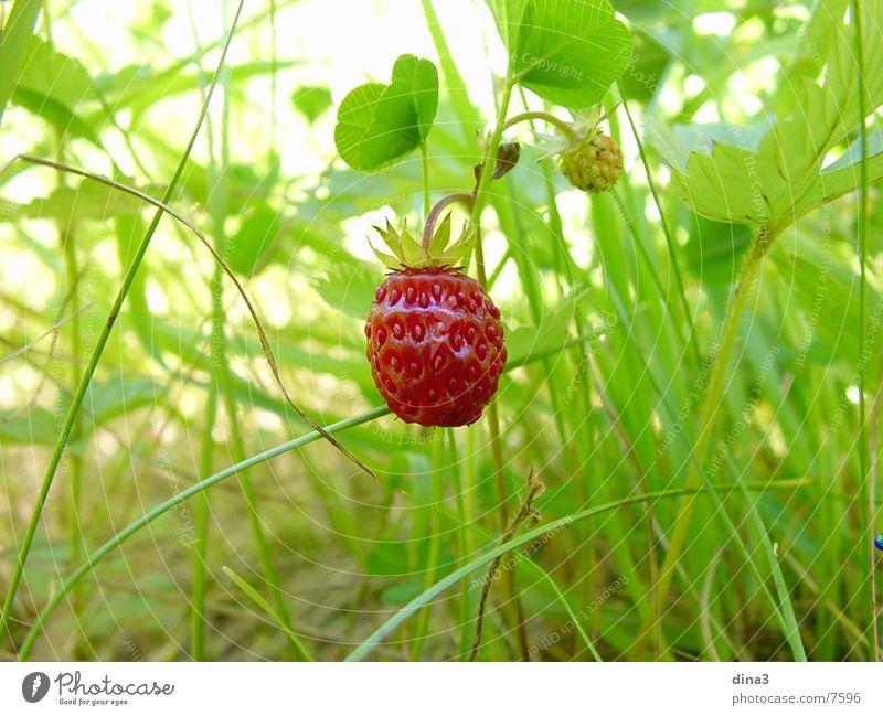 Erdbeere Natur klein Wildtier Erdbeeren