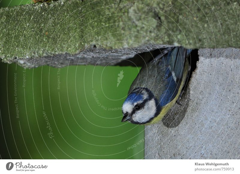 Blau sein ist schön Umwelt Natur Tier Frühling Schönes Wetter Garten Park Wald Wildtier Vogel Blaumeise Meisen 1 fliegen füttern blau gelb grau grün schwarz