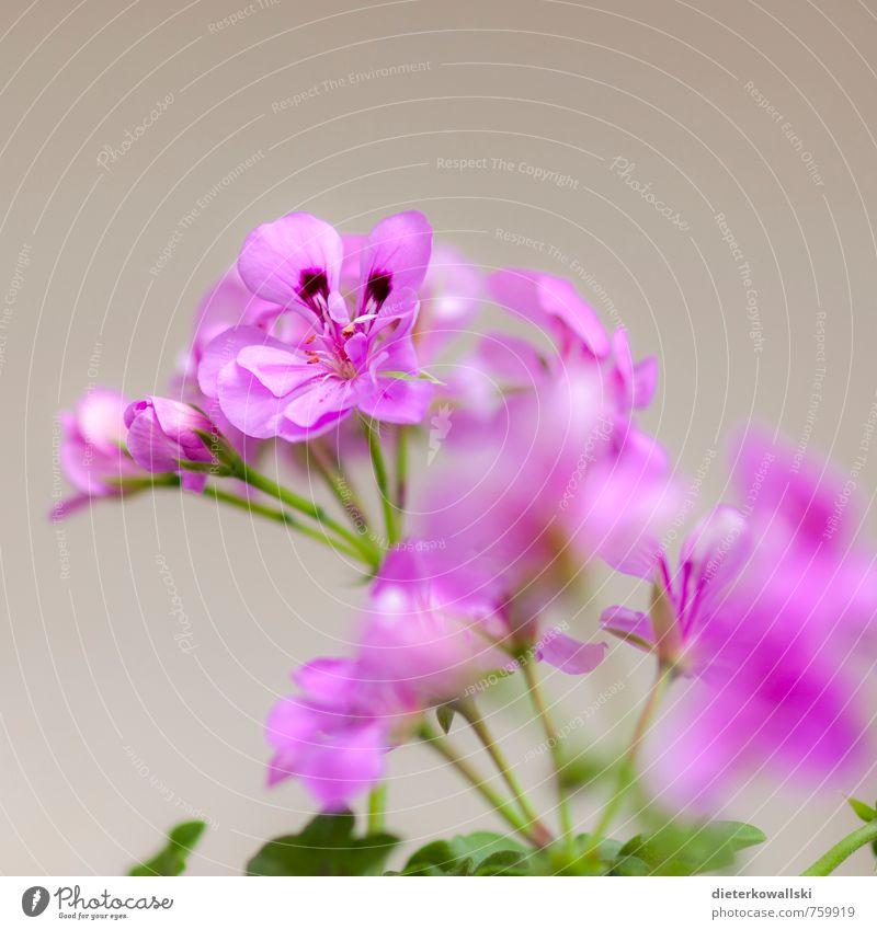 Blume Natur Pflanze Blatt Blüte Topfpflanze schön grün rosa weiß Farbfoto Außenaufnahme Tag Schwache Tiefenschärfe