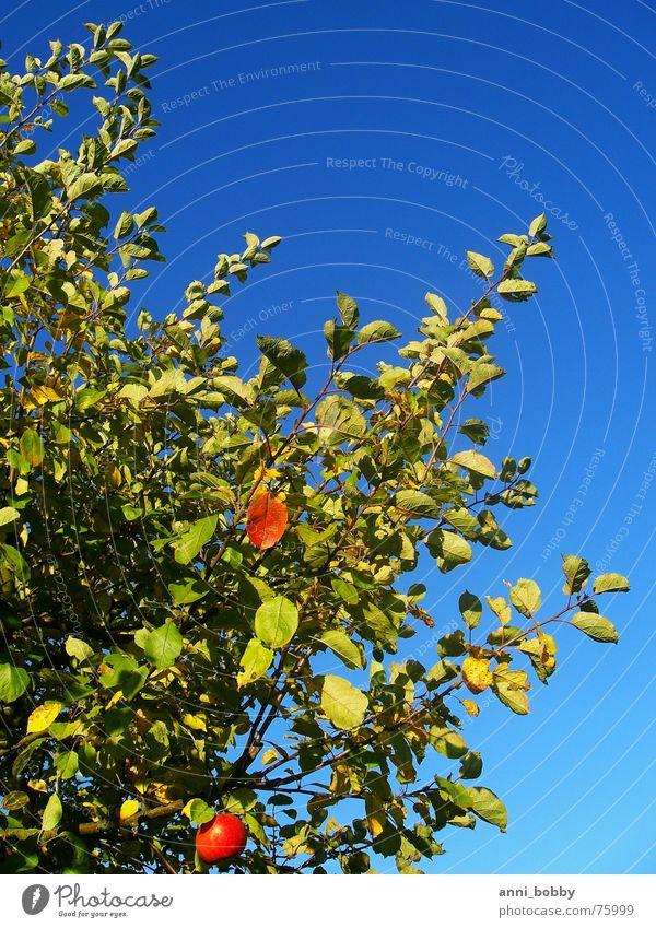 Apfelbaum Himmel Baum grün blau Blatt Herbst Frucht Ast
