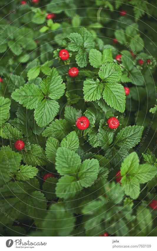 waldbeeren Lebensmittel Frucht Umwelt Natur Pflanze Nutzpflanze Wildpflanze Wald-Erdbeere schön lecker natürlich süß grün rot Farbfoto Außenaufnahme