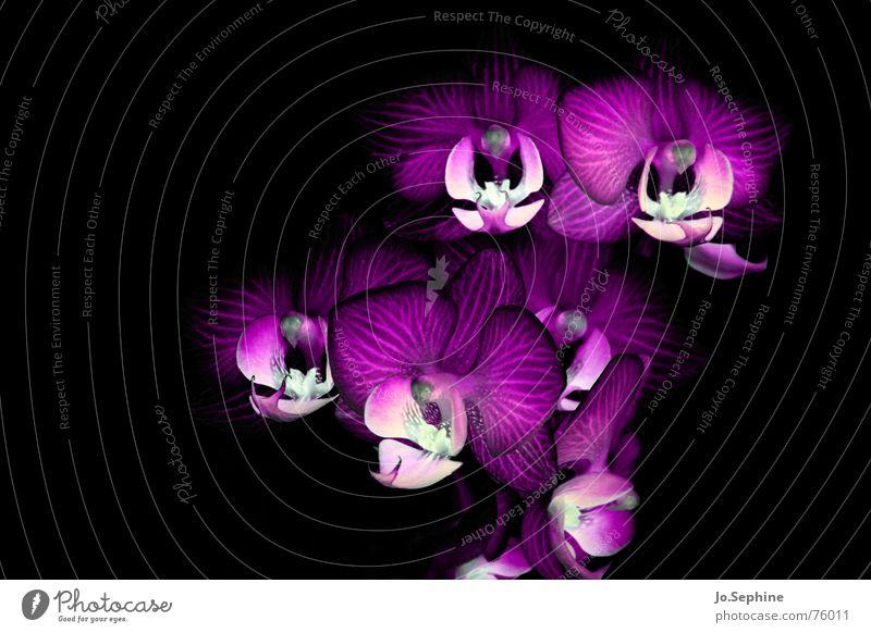 Phalaenopsis Hydrae Leben Pflanze Blume Orchidee Blüte bedrohlich wild Phantasie obskur Low Key Hintergrund neutral Blütenblatt Menschenleer Makroaufnahme