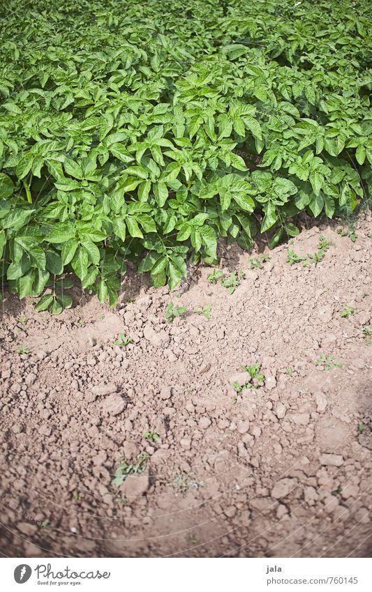kartoffelbeet Natur Pflanze Blatt Umwelt natürlich Gesundheit Feld frisch lecker Grünpflanze Nutzpflanze Kartoffeln