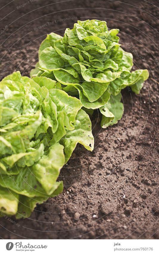 kopfsalat Umwelt Natur Pflanze Blatt Grünpflanze Nutzpflanze Salat Kopfsalat Garten Feld frisch Gesundheit lecker natürlich Farbfoto Außenaufnahme Menschenleer