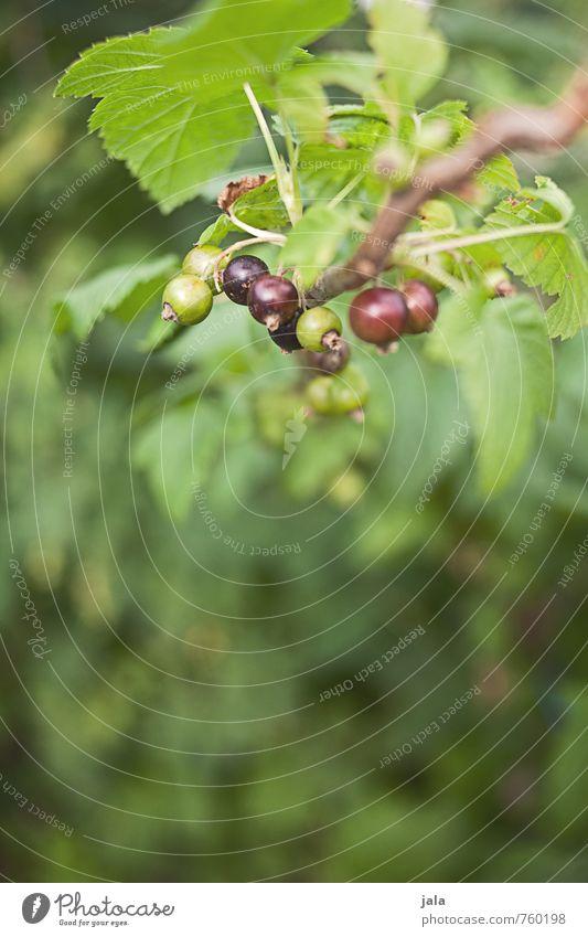 cassis Natur Pflanze Blatt Umwelt natürlich Gesundheit Garten Lebensmittel Frucht frisch ästhetisch lecker Nutzpflanze Johannisbeeren