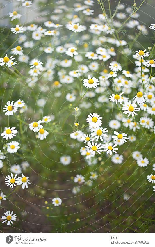 kamille Umwelt Natur Pflanze Blume Blüte Nutzpflanze Kamille Kamillenblüten Garten ästhetisch frisch Gesundheit schön natürlich Farbfoto Außenaufnahme