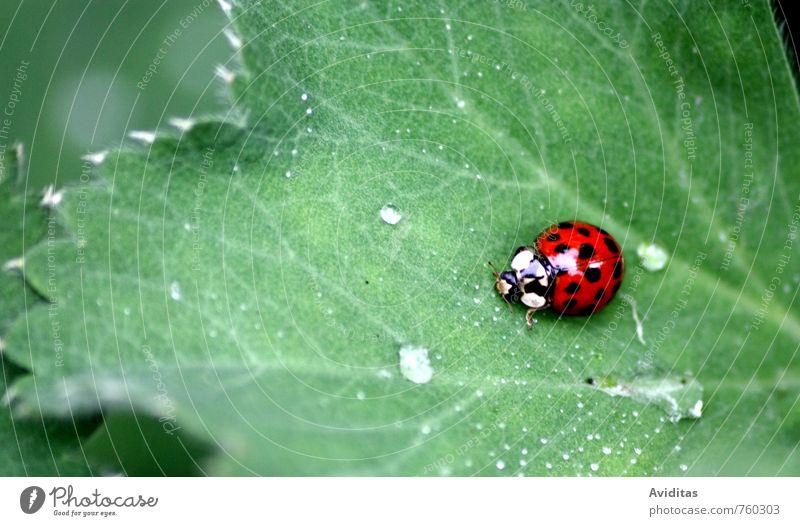 Marienkäfer unterwegs Natur grün Pflanze Sommer Erholung rot Blatt Tier dunkel Umwelt Wiese Denken Garten Park Regen Feld