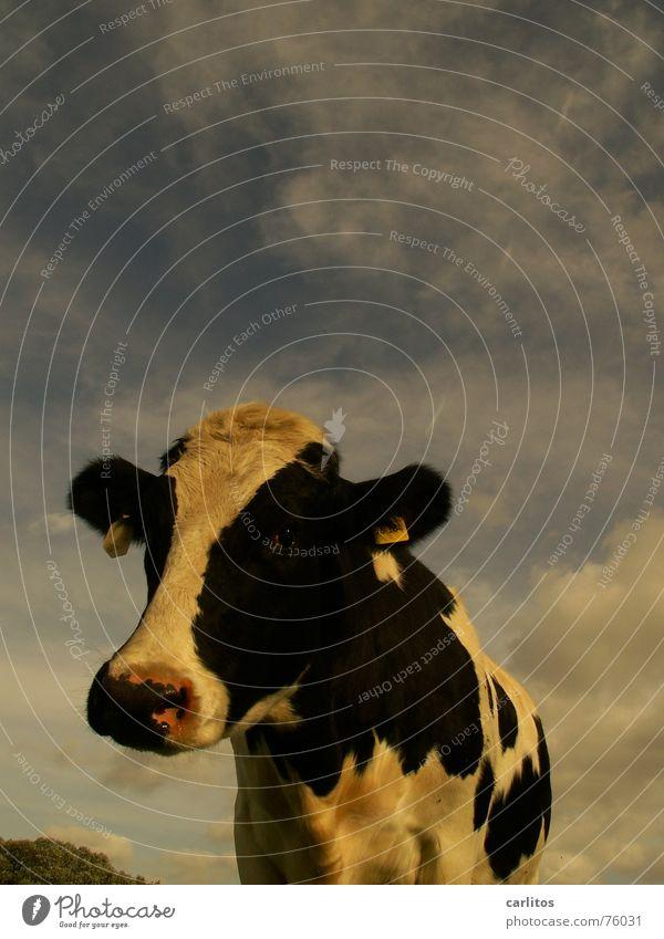 ich bin so kuhl !!! Kuh Neugier Wiese Landwirtschaft lustig Landleben Tier Interesse Blick Weide Schwarzweißfoto
