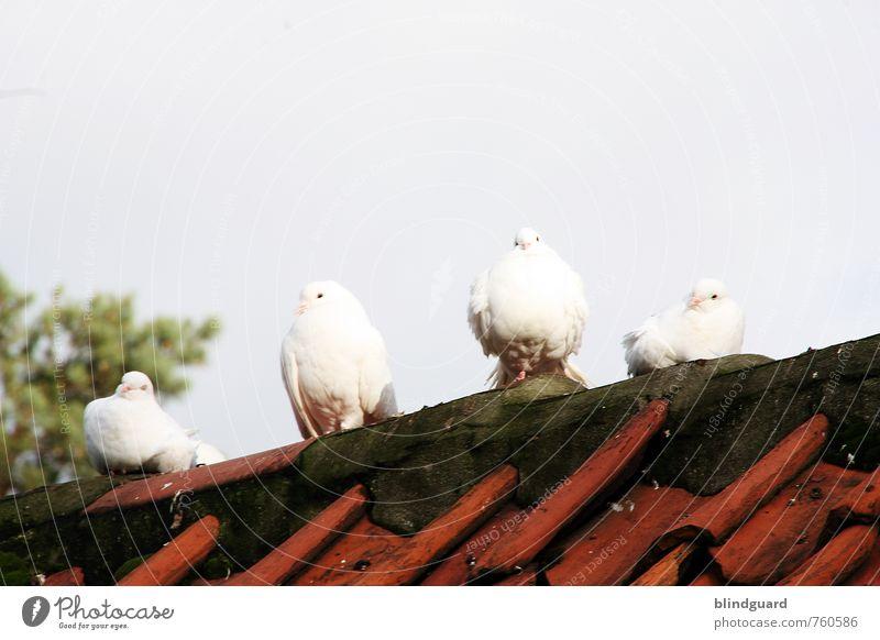 Drei weiße Tauben (+1) Natur blau grün Erholung rot ruhig Tier schwarz grau Stein sitzen warten Flügel Tiergruppe Pause