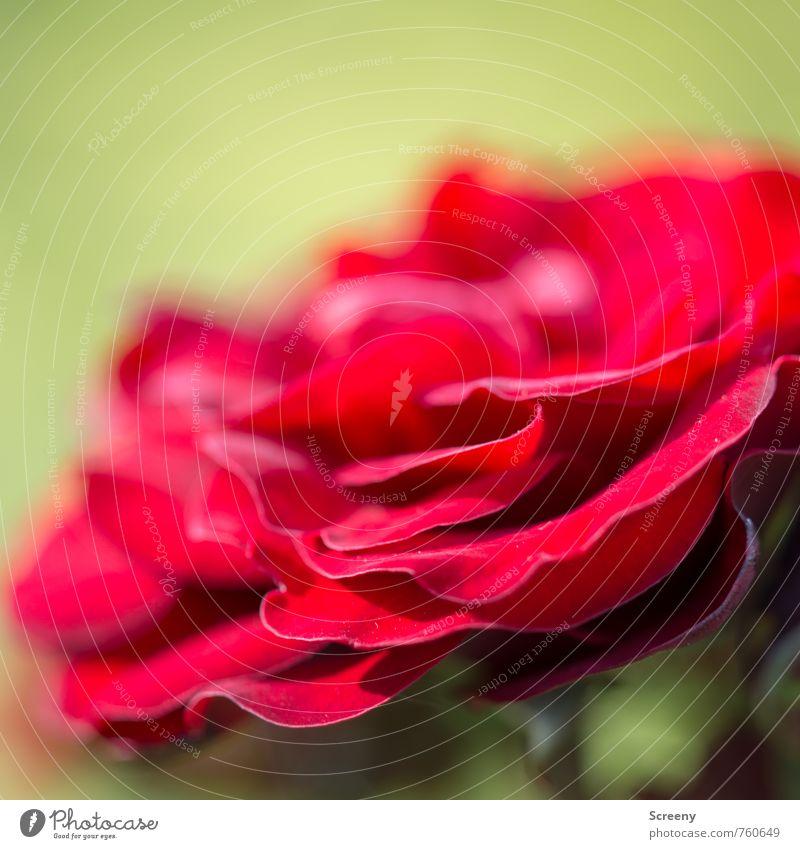 Terassenbau Natur Pflanze Sonne Frühling Sommer Rose Blüte Garten Blühend Duft Wachstum ästhetisch grün rot Frühlingsgefühle Liebe Verliebtheit Romantik schön