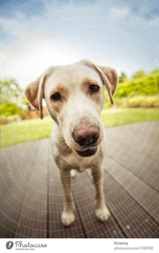 Spielen? Garten Himmel Wolken Frühling Sommer Gras Wiese Tier Haustier Hund Labrador 1 Holz Blick warten blau grün weiß Fröhlichkeit Lebensfreude Tierliebe