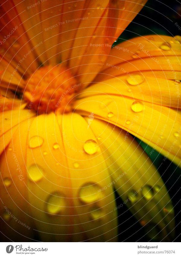 Feuchter Blütentraum schön Pflanze Sommer Freude gelb Leben Blüte Garten orange Regen glänzend Wassertropfen Romantik geheimnisvoll zart Blütenknospen