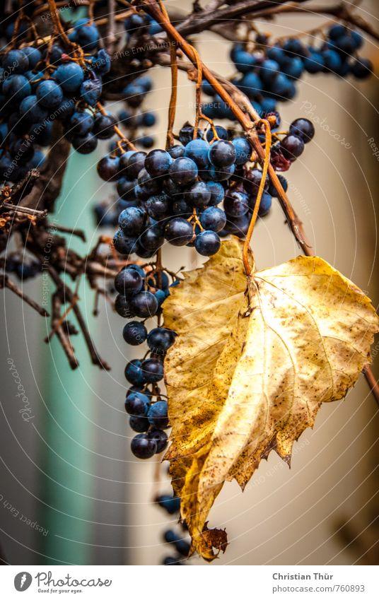 Weintraube Umwelt Herbst Schönes Wetter Blatt weintrauben verblüht ästhetisch glänzend rund saftig schön süß blau braun gold Stimmung Lebensfreude Farbfoto