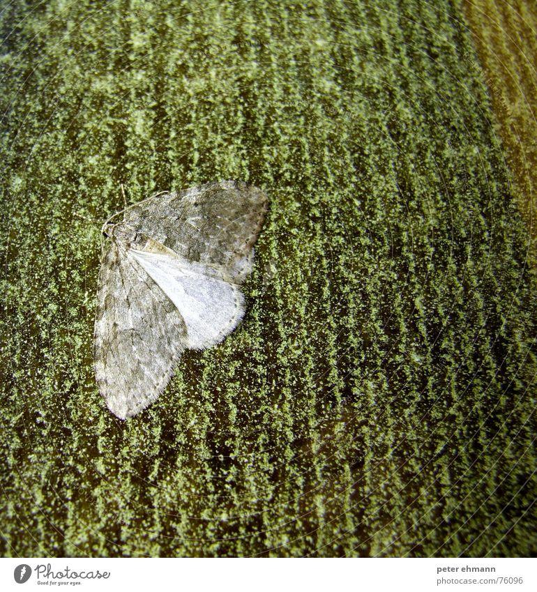 Matrix Falter Schmetterling Insekt grau grün Tarnung Anpassung Muster Pause Fühler Nacht dunkel Flügel verstecken getarnt Fliesen u. Kacheln fliegen sitzen