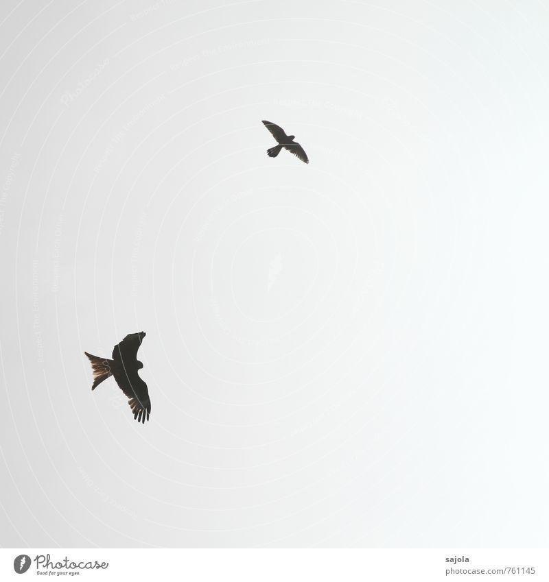 zweikampf Tier Himmel nur Himmel Wolkenloser Himmel Sonnenlicht Wildtier Vogel Roter Milan Turmfalke Gabelweihe 2 fliegen kämpfen Zweikampf Revier verteidigen