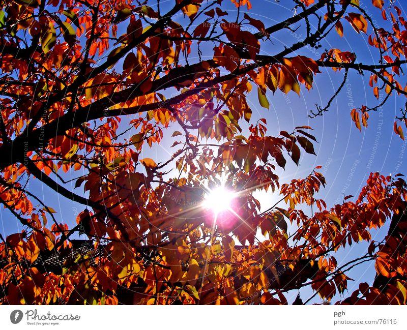 Vorgarten Herbst Blatt Obstbaum braun Sonne Himmel Blick nach oben blau