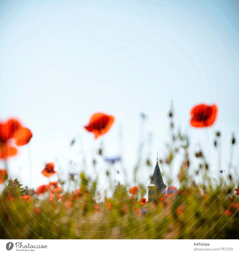 freide, freude, eierkuchen Umwelt Natur Landschaft Pflanze Tier Blume Blüte Grünpflanze Wildpflanze Wiese Feld Kirche Blühend Mohnblüte Religion & Glaube Dorf