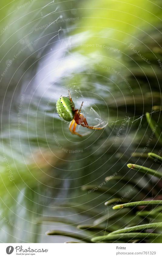 Green Spider ... Natur Tier Eibennadeln Spinne Kürbisspinne Webspinne Echte Webspinne Radnetzspinne Echte Radnetzspinne Araneae Araneomorphae Araneidae