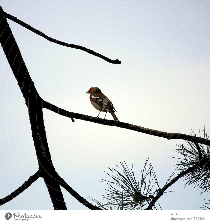 Buchfink Natur blau grün weiß Baum rot Tier schwarz braun Vogel sitzen beobachten Ast Kiefer Singvögel Konifere
