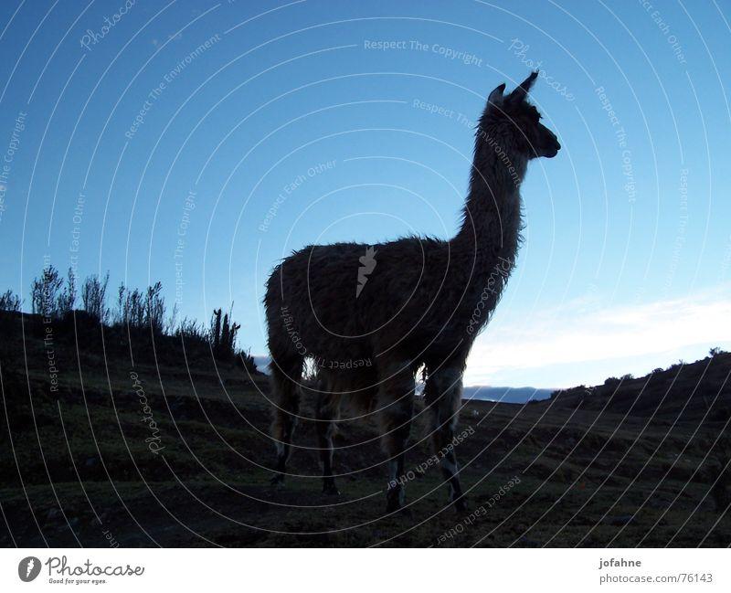 Lama in Peru Dämmerung Inca schwarz Schatten Blauer Himmel alpaca Alpaka