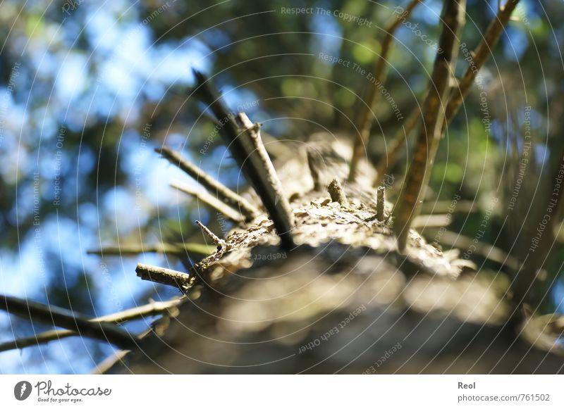 Dem Himmel entgegen II Umwelt Natur Pflanze Urelemente Luft Sommer Schönes Wetter Baum Grünpflanze Wildpflanze Tanne Tannenzweig Ast Baumkrone Baumrinde