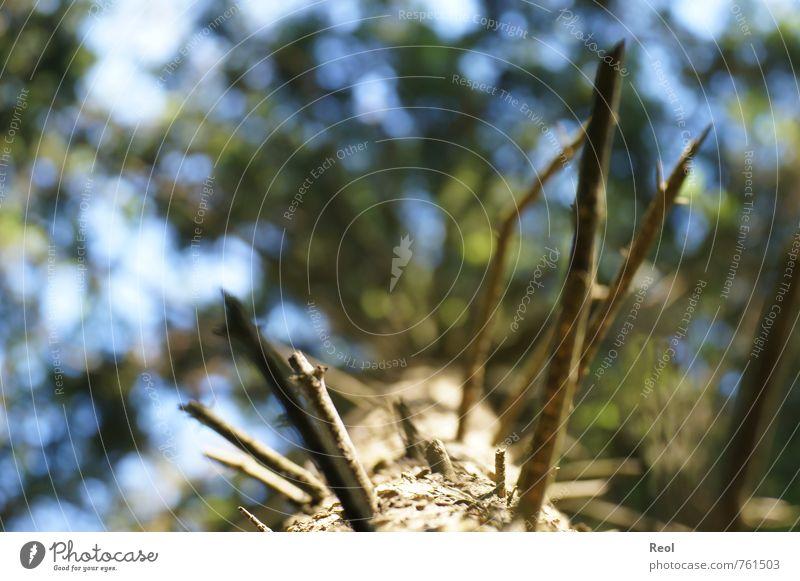 Dem Himmel entgegen I Umwelt Natur Urelemente Erde Luft Sommer Klima Schönes Wetter Pflanze Baum Grünpflanze Wildpflanze Tanne Nadelbaum Nadelwald Tannennadel