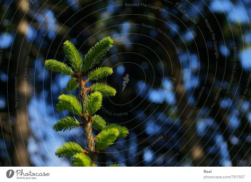 Immer höher wachsen Umwelt Natur Urelemente Sonne Frühling Sommer Pflanze Baum Grünpflanze Wildpflanze Tanne Tannenzweig Tannennadel Nadelwald Trieb Jungpflanze