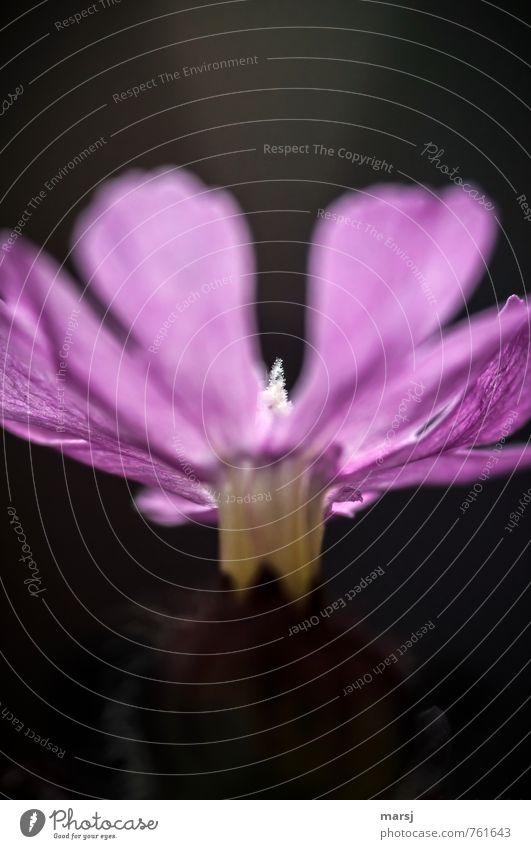 Nur in der Mitte Pflanze Frühling Sommer Blume Blüte Wildpflanze Wiesenblume rote Lichtnelke Nelkengewächse Blühend leuchten schön einzigartig nah natürlich