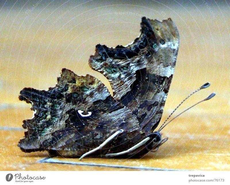 schmetterling Tier Beine fliegen Flügel Insekt Schmetterling entfalten Fluginsekt