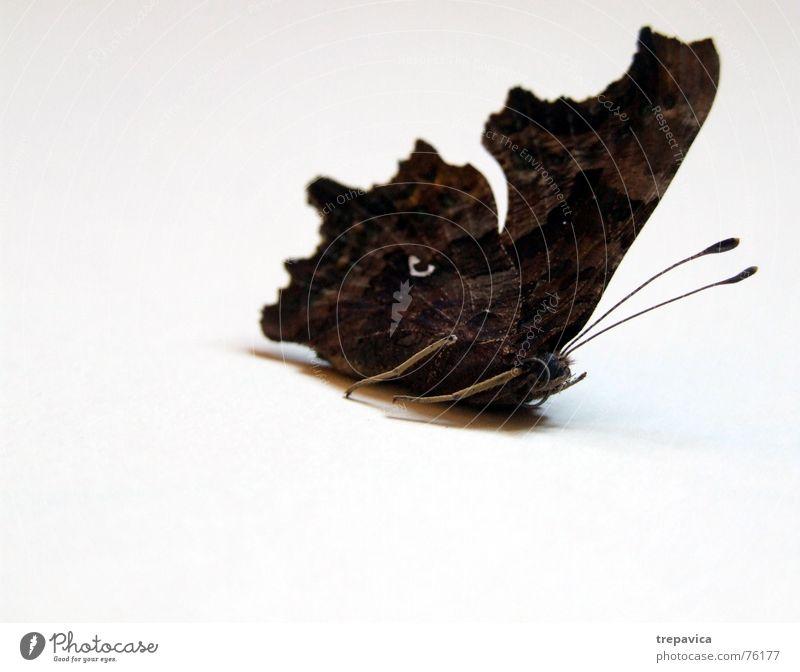 schmetterling I Insekt Tier braun weiß Schmetterling Fluginsekt braun-weiss Vor hellem Hintergrund Flügel dunkle farben
