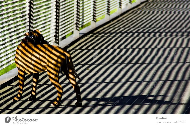 Hundestaffel bekommt neue Uniform Tier Architektur gefährlich Brücke Fell Geländer Haustier Schwanz Schnauze Monster Wildnis Hundeleine Boxer Maulkorb Dogge
