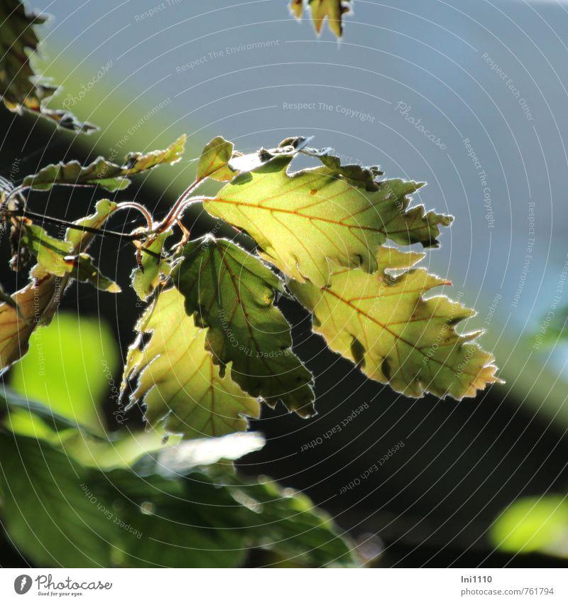 Blätter - schlitzblättrige Buche Himmel Natur blau schön grün Pflanze Baum rot ruhig Blatt gelb Umwelt Frühling natürlich außergewöhnlich oben