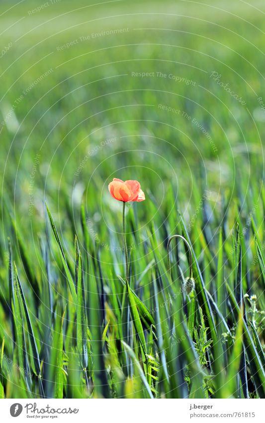 lonely Umwelt Natur Landschaft Pflanze Sommer Blume Gras Blüte Grünpflanze Nutzpflanze Wildpflanze Wiese Feld grün rot Mohnblüte Farbfoto Gedeckte Farben