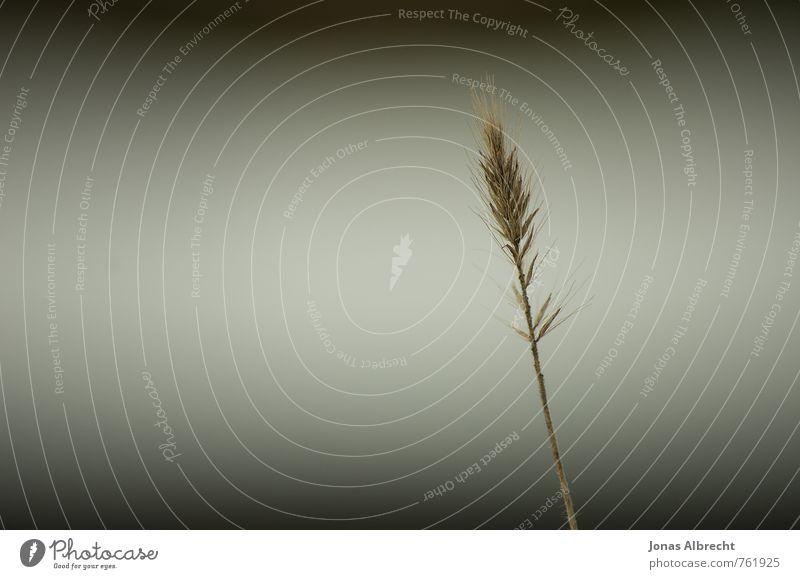 Korn Pflanze Gras Wiese Küste braun gelb gold schwarz weiß Ähren Getreide Stengel Farbfoto Gedeckte Farben Außenaufnahme Nahaufnahme Detailaufnahme