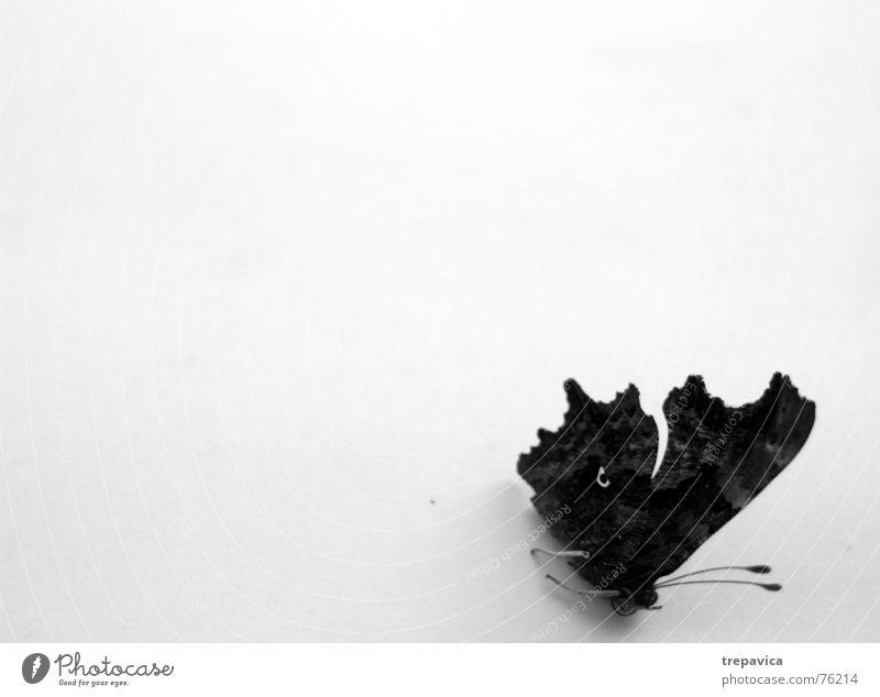 schmetterling II Insekt Tier Schmetterling Fluginsekt Schwarzweißfoto Vor hellem Hintergrund Flügel