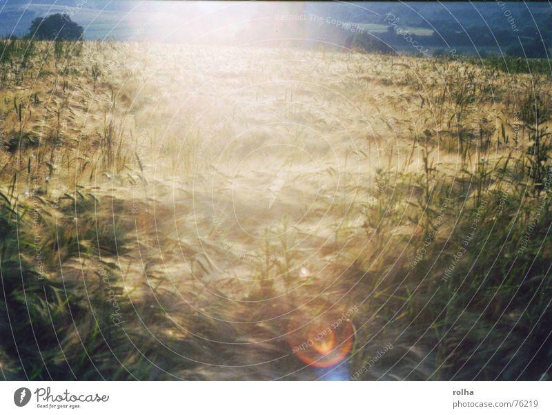 Lebensmittel Erntedankfest hell Licht ährenfeld Sonne kornkammer. leben woogen