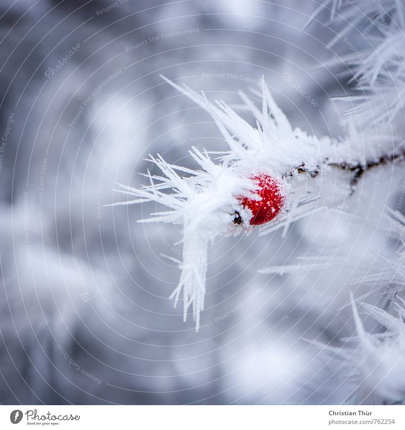 Beeren im Frost Ferien & Urlaub & Reisen weiß Pflanze rot Winter kalt Umwelt Gefühle Schnee Glück braun Eis Feld elegant Sträucher ästhetisch