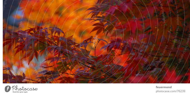 wunderschöne Farben Blatt Herbst Wald rot mehrfarbig Jahreszeiten herbstlich Ast Zweig orange Ende