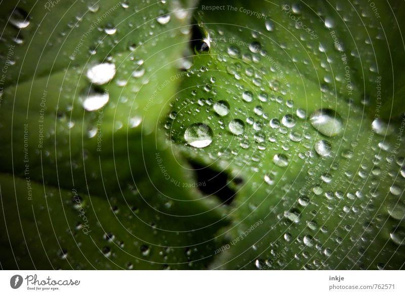 viele Natur Tier Wasser Wassertropfen Frühling Sommer Regen Pflanze Blatt Frauenmantelblatt Garten Flüssigkeit frisch nah nass natürlich rund saftig grün Umwelt