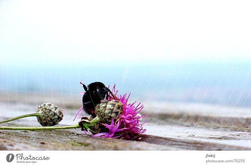 Lebensabend Hummel Blüte Blühend Herbst Pflanze Tier Insekt Staubfäden Tisch Holz Biene Wespen rosa Blume hell-blau Holzmehl fade Ecke zart weich