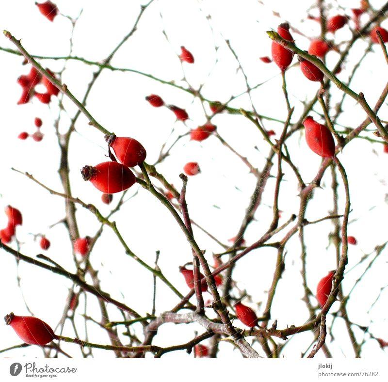 Gestrauchelt Natur weiß Pflanze rot Herbst kalt Wärme Hintergrundbild Frucht Wachstum Rose Sträucher Ast Physik Tee genießen