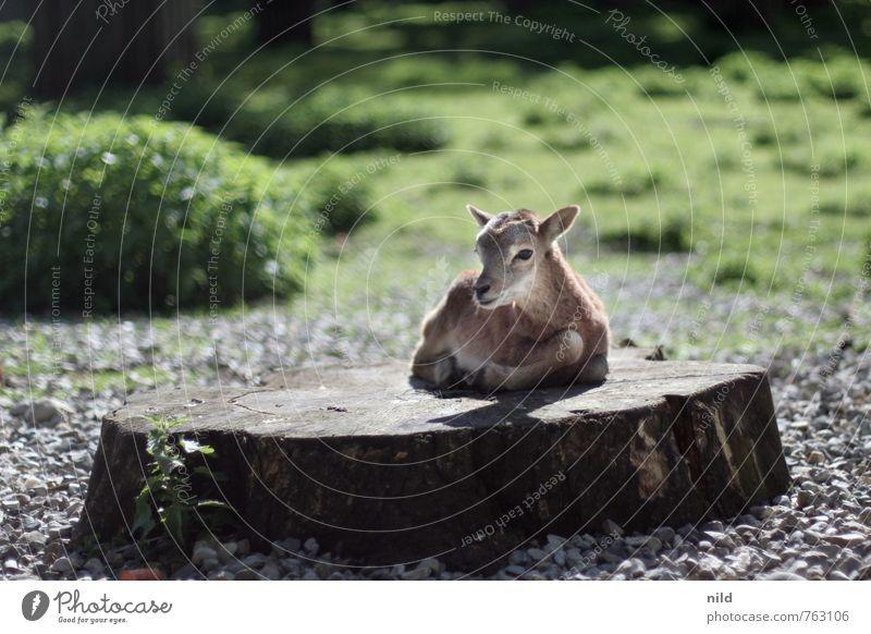 AWWWW Umwelt Natur Pflanze Tier Frühling Sommer Schönes Wetter Wildtier Zoo Streichelzoo Mufflon 1 Tierjunges beobachten entdecken kuschlig klein niedlich braun