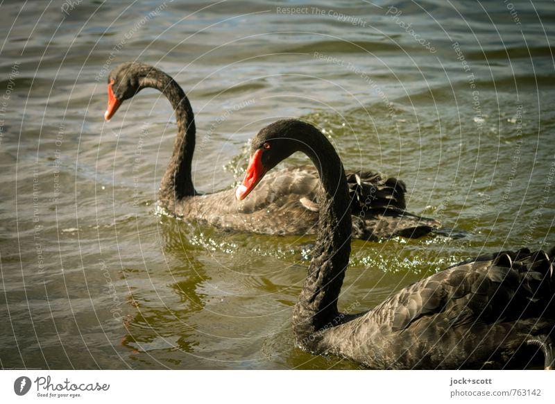2 Black swans Wärme Wildtier Schwan Tier Blick elegant exotisch schwarz Zusammensein Tierliebe Stolz einzigartig Artenreichtum Silhouette Sonnenlicht Low Key