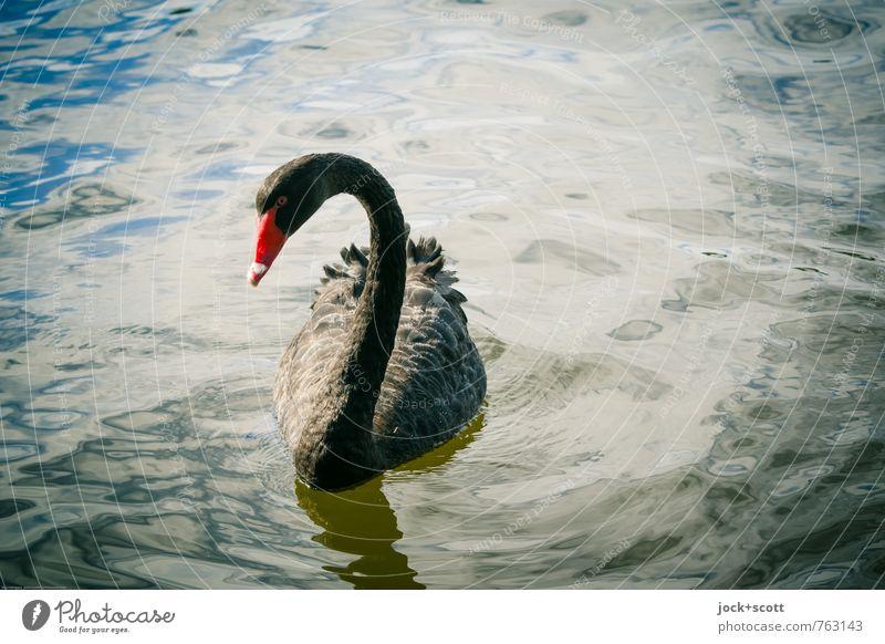 sad swan Wasser ruhig Tier schwarz Wärme Schwimmen & Baden Zeit elegant warten beobachten Schönes Wetter Zeichen Trauer Flussufer lang exotisch