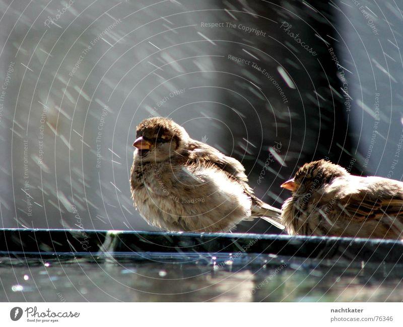 spatzenwäsche Spatz Wäsche Brunnen Außenaufnahme lienz Wasser regenspritzer Feder