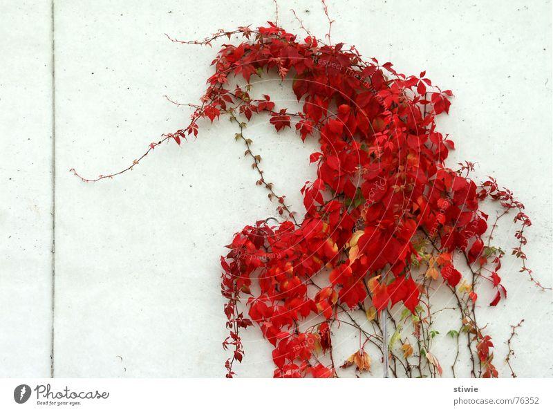 richtung: linientreu Ranke Pflanze Blatt Richtung rot Herbst Garten Park dirction tendril Linie line leaves red