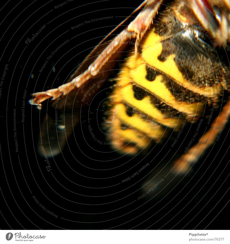 Hilde, die Hornisse Beine Flügel Insekt Schmerz Biene gestreift stechen Hornissen