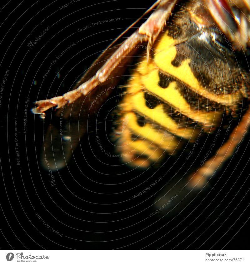 Hilde, die Hornisse Hornissen Biene Insekt stechen gestreift Schmerz Beine Flügel gelb schwarz