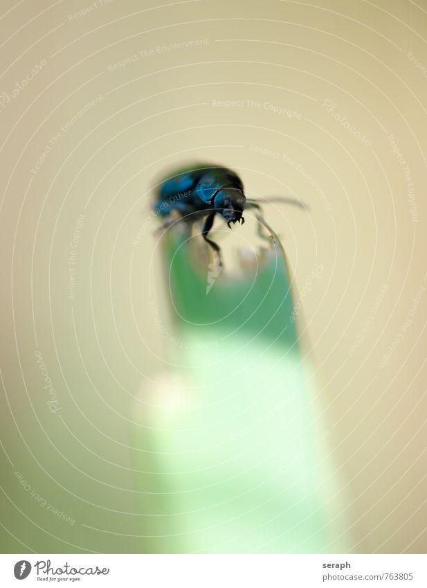 Käfer Chitin schwarz glänzend Wanze Gras Halm Umwelt Tier Insekt Fühler Natur krabbeln Makroaufnahme Nahaufnahme fauna Pflanze Außenaufnahme klein Antenne Beine